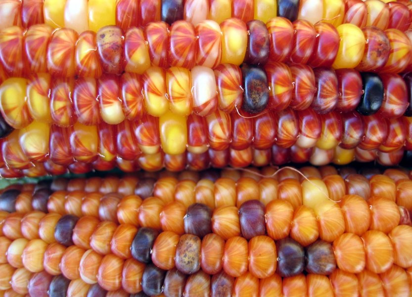 harvest-corn-1464825
