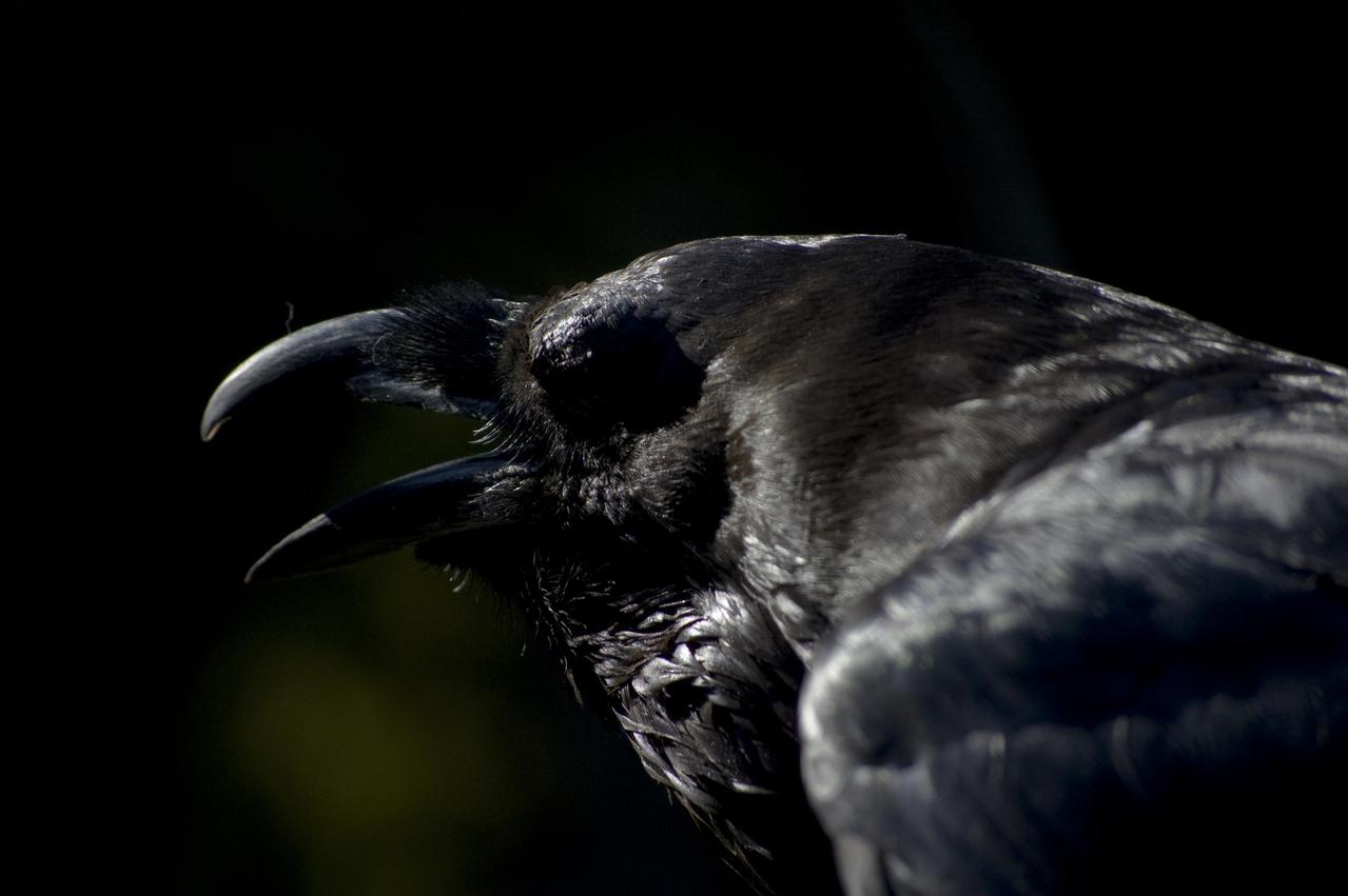dark-raven-1343217-1279x850